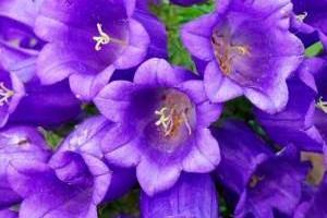 Двухлетние садовые цветы фото