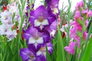 Клубневые цветы для сада фото