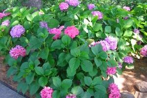 Красивоцветущие кустарники для средней полосы фото