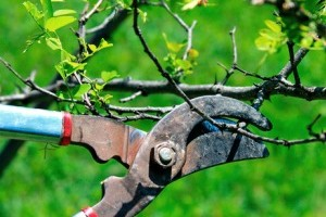 Обрезка деревьев зимой и весной