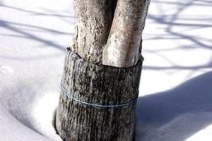 Утепление деревьев на зиму