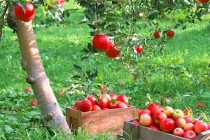 Уход за плодовыми деревьями фото
