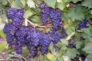 1324022513_vinograd111