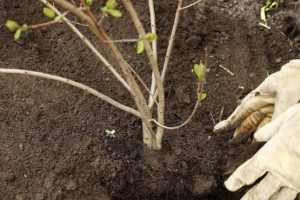 planting_trees_shrubs_6