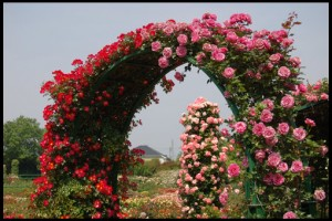 pletistaya-roza